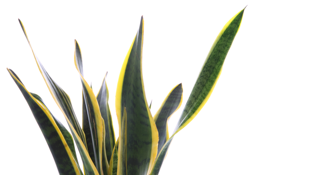 Verde Indoor: arredare con la Sansevieria.